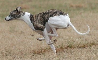 Action shot - A white with gray brindle Whippet dog is runnign across a field. It has a long skinny tail and long legs.