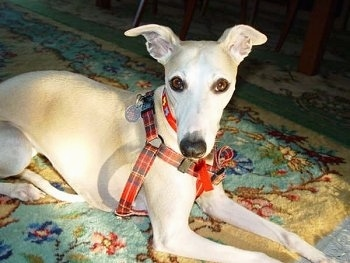 A white with tan Whippet dog is laying across a rug and it is wearing a plaid harness. It has ears that stick out to the sides and brown almond shaped eyes.