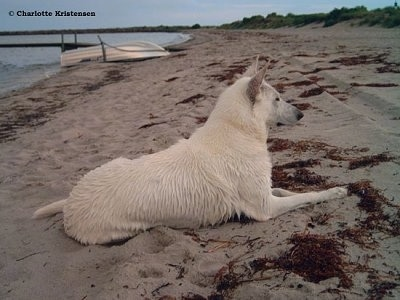 The back right side of a wet American White Shepherd that is laying on a beach and it is looking to the right.