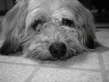 Close up - A black and white photo of a Whoodle dog laying on a tiled floor. It has long ears that hang down to the sides that are touching the floor and a big black nose.