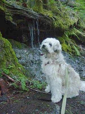 The left side of a Whoodle dog that is looking up and to the left. It is sitting on a dirt surface in a wooded area with a water fall behind it.
