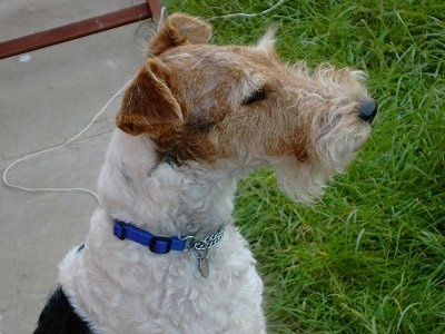 Close up side view head and upper body shot - A white with black and brown Wirehaired Fox Terrier that is sitting on a sidewalk and it is looking to the right. It has a long muzzle, a black nose and small fold over ears.