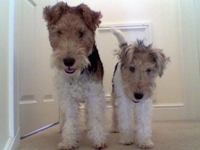 A white with tan and black Wire Fox Terrier dog is standing next to a smaller white with tan and black Wire Fox Terrier puppy in a hallway and they are surrounded by doors.