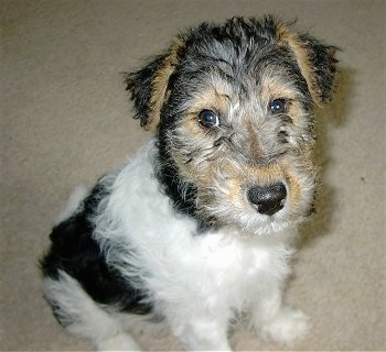 Wire Fox Terrier Dog Breed Information and Pictures
