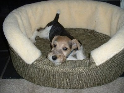 A black and white with tan Wire Fox Terrier puppy is laying down in a dog bed and it is looking forward. The dog has dark tricolors.