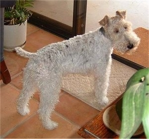 The back right side of a white with black and tan Wire Fox Terrier dog it is standing on a rug and it is looking forward. It has small fold over ears and a black nose. The hair on its muzzle is longer than the hair on its body.