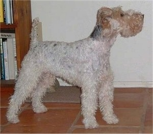 The right side of a white with tan and black Wirehaired Fox Terrier that is standing across a tiled surface, it is looking up and to the right. The dog's tail is up and its ears are folded over to the front. It has a square muzzle.
