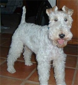 The front right of a happy looking white with tan Wire Fox Terrier dog looking forward, its mouth is open and its pink tongue is out. Its tail is up in the air.