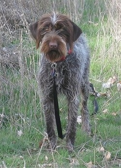 Front view - A white with brown and black Wirehaired Pointing Griffon dog standing outside in a field in tall grass looking forward. It has ears that hang down to the sides and longer hair on its muzzle with a brown nose.