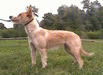Left Profile - A tan with white Portuguese Podengo is standing in grass and it is looking up and to the left. It has a show dog leash around its neck.