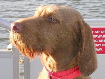 Close up headshot - The left side of a red Wirehaired Vizsla dog sitting on a boat wearing a hot pink collar.