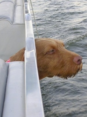 A red Wirehaired Vizsla is sticking its head out of the side of a boat out on the water.