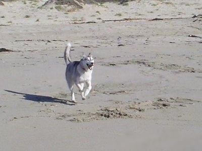 A black and white Wolf Hybrid is running across sand and its mouth is open.