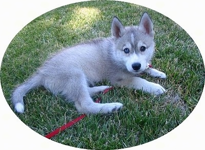 The back right side of a tan and white Wolf Hybrid puppy that is laying in grass and it is looking forward. It is attached to a red leash.