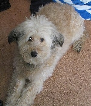 Whoodle Dog Breed Information and Pictures, Wheaten ...