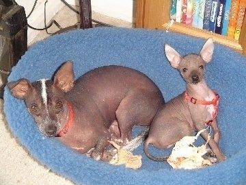A brown and white Xoloitzcuintli dog laying down on a dog bed next to a sitting Xoloitzcuintli puppy. One of the adults ears flops slightly over to the front while the other ear stands up. The puppy has two perk ears.