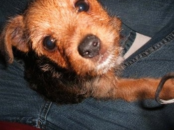 Squirt, The Jack Russell, Yorkie cross (Yorkie Russell)