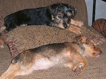 Two Yorkie Russell puppies are laying on a couch. One of the puppies is tan with dark gray on its back and it is sleeping and the other one is black with tan on its paws and snout and it is laying on top of a pillow. There is a basketball next to them.