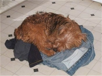 A brown with black Yorkie Russell dog is laying in a circle on a pile of clothes on top of a tiled floor.