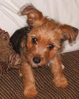 A black and brown Yorkie Russell puppy is sitting on a couch with a white pillow behind it. The puppy has its head tilted to the right. Its ears are sticking out to the sides and folded over at the tips.