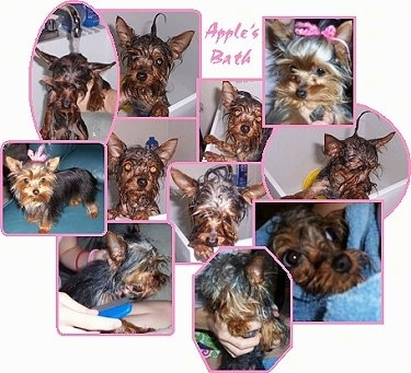 Apple, the Yorkshire Terrier getting cleaned up!