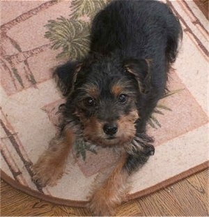 Top down view of a black with brown and white Yorkie Russell that is laying across a door mat and it is looking up. It has straggly thin hair coming from its chest, legs and face.