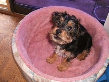 A long haired black with brown and white Yorkie Russell dog sitting in a pink dog bed, it is looking up and its mouth is slightly open.