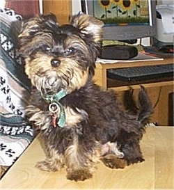 The front left side of a black with tan Yorkipoo puppy sitting across a table and it is looking forward. It has a thick fluffy coat and ears that stand up and fold over at the tips.