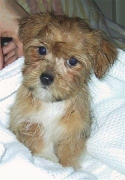 Charlie a.k.a. Nooni, a Yorktese as a young puppy after his bath