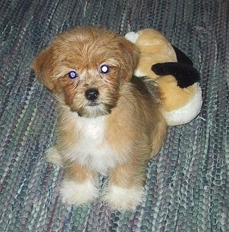 A soft, thick coated, tan with white Yorktese puppy is sitting on a rug and behind it is a plush dog toy. The dog has white tipped feet, a white chest and a tan body with a black nose and dark round eyes. It looks like a stuffed toy.