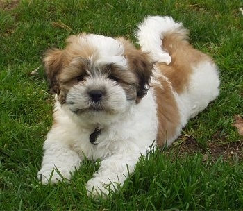 The front left side of a white with brown Zuchon puppy that is laying across grass and it is looking forward. It has a thick coat, squinty eyes and a tail that curls up over its back.
