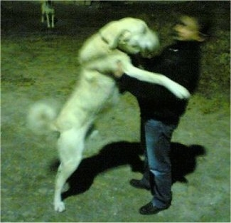 A large breed white Akbash Dog jumping onto a man
