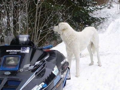 The front left side of a tall white Akbash Dog that is standing in the snow behind a snowmobile.