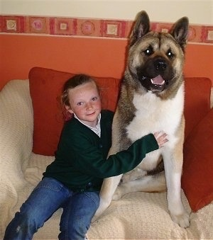A tan and white with black Akita is sitting on a couch next to a little girl and it is looking forward.