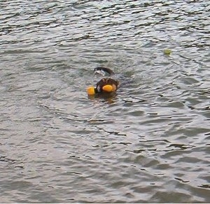 An Alano Español is swimming in a body of water with an orange toy in mouth