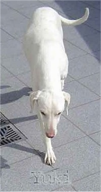 Yuki the white Doberman Pinscher is walking across a surface. The words - Yuki - are under it