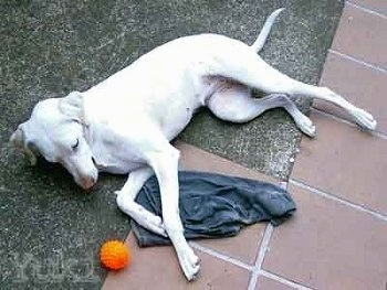 Yuki the white Doberman Pinscher is laying on its side and looking at an orange ball in front of it