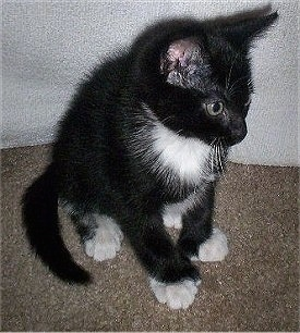 Spencer the black and white American Polydactyl Kitten sitting on a carpet and looking to the right