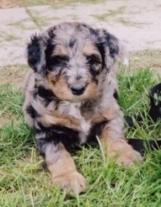 A merle Aussiedoodle Puppy is sitting in grass with a leash on and it is looking forward.