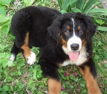 Zara the Bernese Mountain Dog puppy laying outside ontop of weeds with its mouth open and tongue out