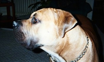 Close Up - Thor the Boerboel standing on a rug and looking to the left