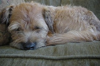 Close Up - Hamish the Border Terrier sleeping on a couch