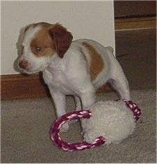 Maddy the Brittany Spaniel Puppy standing on a hardwood floor in front of a dog toy