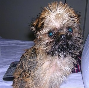 A tan and black Belgian Griffon puppy is sitting on a human's bed with a remote control behind it. The fur on the dog's head is all puffed out.
