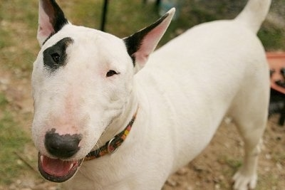 Close Up - Slinka the Bull Terrier standing in dirt with its mouth open looking happy