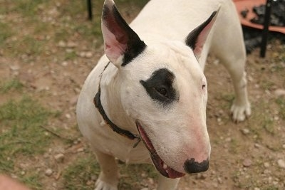 Close Up - Slinka the Bull Terrier with its head facing the right