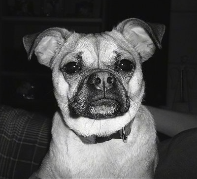 Close Up - A black and white photo of Lucy the Chug sitting on a couch looking right at the camera