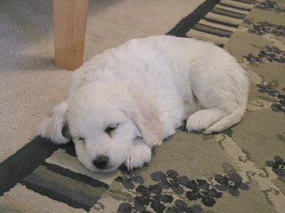 Cosmo the white Cockamo puppy is sleeping on a rug and there is a wooden table behind him