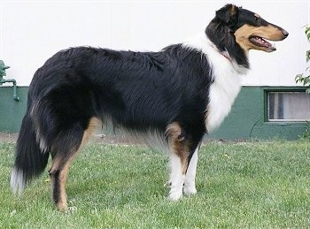 Right Profile - Luke the black, tan and white drop-earred Tricolor Collie is standing outside and there is a green building behind him