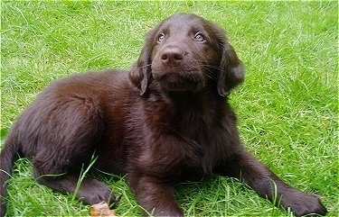 A brown Flat-Coated Retriever puppy is laying out in a field of grass